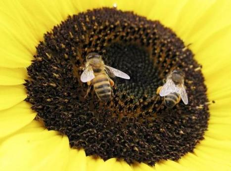 Wild bee populations dwindle in main U.S. crop regions: study | Food issues | Scoop.it