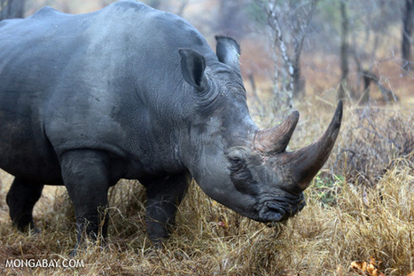 South Africa loses nearly 150 rhinos to poachers so far this year - Mongabay.com | Saving All Animals | Scoop.it