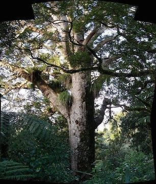 Millennium Trees in New Caledonia Facing Extinction | GarryRogers Biosphere News | Scoop.it