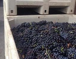 Early 2014 Grape Harvest Begins   Autour du vin   Scoop.it