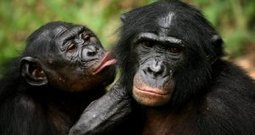 Chimpancés y humanos, cada vez más parecidos | Aux origines | Scoop.it