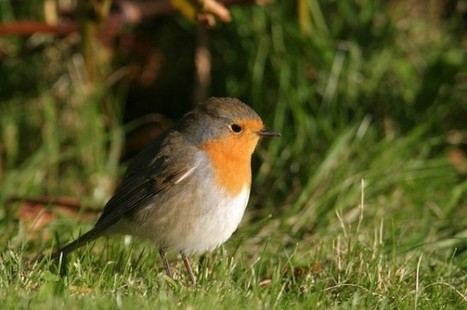Electronic Pollution Disorients Migratory Robins | I Fucking Love Science | web social | Scoop.it