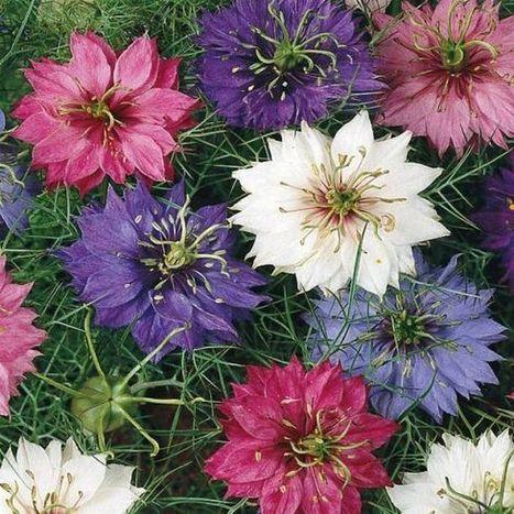 Nigelle de Damas en mélange | Fleurs - Inspiration | Pinterest | planter des bulbes | Scoop.it