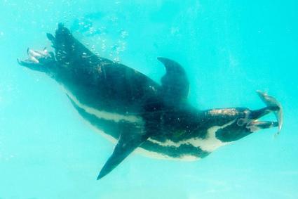 Pinguine: Licence to Krill | Amocean MeerWissen | Scoop.it