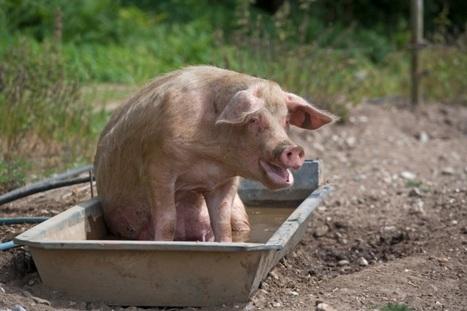 Quando l'ottimista è un porco :-) | Notizie Ottimiste | Scoop.it
