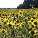 How the Sunflower can Revolutionise Solar Power Plants | CleanTechies Blog - CleanTechies.com | Sustainable Futures | Scoop.it