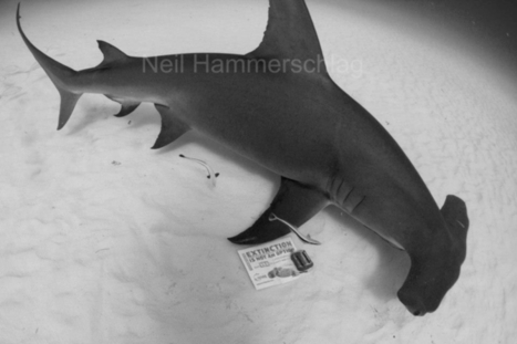 Scalloped Hammerheads Become First Shark Species on the U.S. Endangered Species List | Sustain Our Earth | Scoop.it