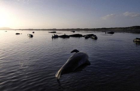 Pourquoi les baleines meurent-elles en groupe ? Voici ce que pensent les scientifiques | Biodiversité & Relations Homme - Nature - Environnement : Un Scoop.it du Muséum de Toulouse | Scoop.it