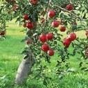 Il Farmacista Online: Diabete. Nuova terapia dalla corteccia dell'albero di mele. Arriva anche in Italia Dapagliflozin   Benessere a 360 gradi   Scoop.it