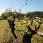 2011 Proving Unique for the Grape Harvest | Cognac-news | Scoop.it