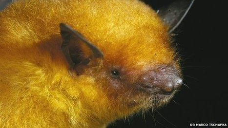 Bolivian golden bat revealed as 'new species' | Paneco Press: Species Watch | Scoop.it