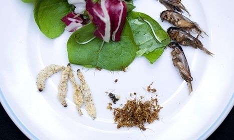 Is the US ready to stomach eating bugs? | Entomophagy: Edible Insects and the Future of Food | Scoop.it