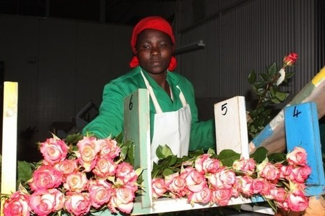 Blood blossoms: Kenya's flower farms no bed of roses | Year 13 Geography Blood diamonds | Scoop.it