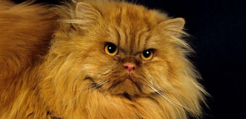 Impulsifs et dominateurs, les chats sont comme les lions