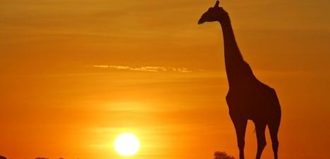 Au Congo, des girafes sont tuées pour leur queue | Chronique d'un pays où il ne se passe rien... ou presque ! | Scoop.it