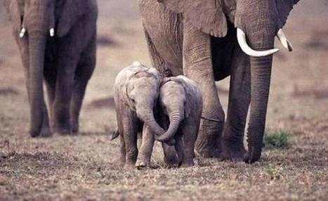 Twitter / ItsEarthPics: Two baby elephants hold each ...   Elephants   Scoop.it