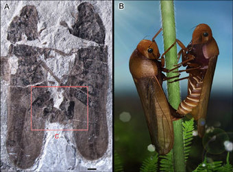 Fossilized mating insects demonstrate instant burial | Conformable Contacts | Scoop.it
