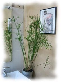 Papyrus will be happy with the moisture of your bathroom !!! | plant and design | Scoop.it