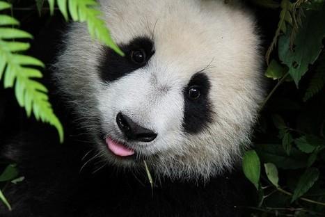 China Is Selling Off Vital Panda Habitat To The Highest Bidder | GarryRogers NatCon News | Scoop.it