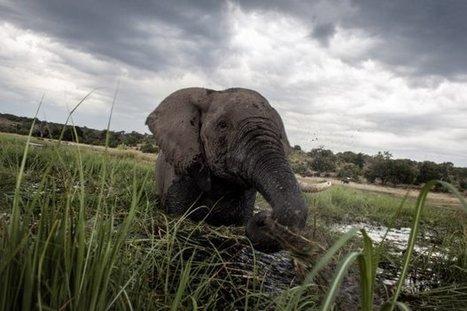 Chasse à l'éléphant, chasse aux préjugés | DocPresseESJ | Scoop.it