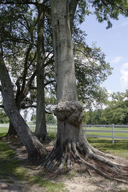Unusual tree | Oak Alley Plantation: Things to see! | Scoop.it