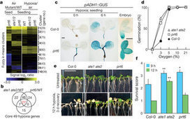 Homeostatic response to hypoxia is regulated by the N-end rule pathway in plants : Nature : Nature Publishing Group | Plant Science in the 21st Century | Scoop.it