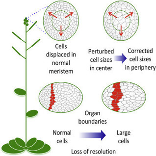 Active Control of Cell Size Generates Spatial Detail during Plant Organogenesis | Plant Gene Seeker -PGS | Scoop.it