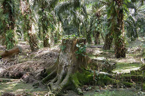 Biological Deserts: The Environmental Impacts of the Biofuel and Palm Oil Industry | Biodiversity IS Life  – #Conservation #Ecosystems #Wildlife #Rivers #Forests #Environment | Scoop.it
