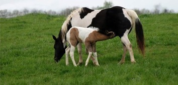Nursing Horse Nutritional Dangers For Both Mom and Baby | Horse Care | Scoop.it