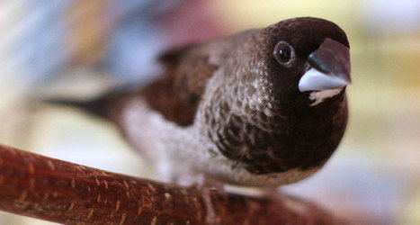 Finches can pass H7N9 bird flu to chickens | Avian influenza virus A(H7N9) | Scoop.it