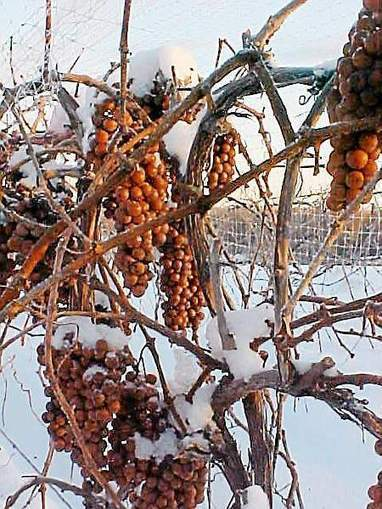 Northeast Ohio wineries to lose millions as subzero weather damages grape crop | Southern California Wine and Craft Spirits Journal | Scoop.it