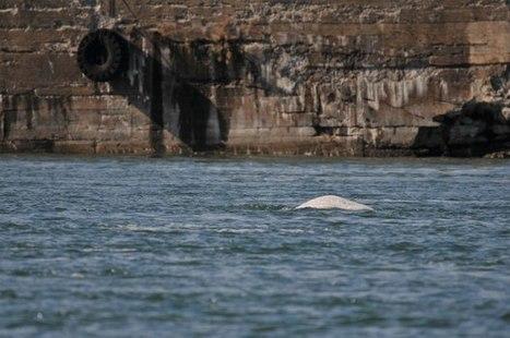 #Montreal's errant beluga has vanished. Is it good or bad? | PlanetNews | Scoop.it