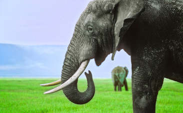 7 Amazing Facts About Elephants That Make Poaching Even Worse ... | Rhino Conservation | Scoop.it