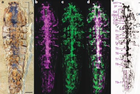 Un système nerveux d'un demi-milliard d'années [en anglais] | EntomoNews | Scoop.it