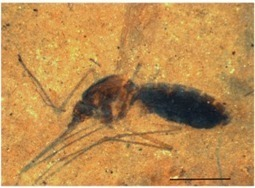 First Fossil of Blood-Filled Mosquito Discovered | Amazing Science | Scoop.it