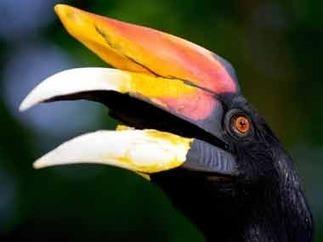 Artificial beaks save hornbills from extinction in Arunachal   Green Calling   Scoop.it