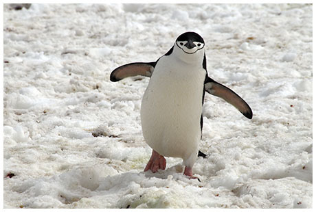 Chinstrap Penguin Facts | Follow Me for the Interesting Chinstrap Facts | AnimalsTime | Scoop.it