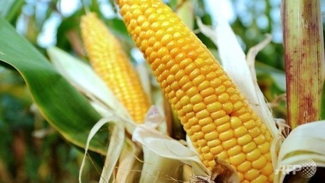 French scientists revive assault on pesticide, GM corn - Channel NewsAsia   Sustain Our Earth   Scoop.it