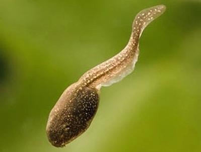 Los renacuajos desarrollan una cola más grande ante la amenaza de un depredador | laevolucion | Scoop.it
