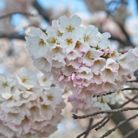 The Cherry Blossom Festival | English class | Scoop.it