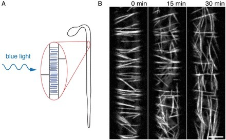 Science: A Mechanism for Reorientation of Cortical Microtubule Arrays Driven by Microtubule Severing | Plant Biology Teaching Resources (Higher Education) | Scoop.it