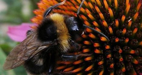 Plight of the bumblebee: climate change puts insect at risk | Food issues | Scoop.it