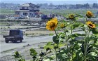 Sunflowers heal soil across nuclear-hit Fukushima | Sunflowers | Scoop.it