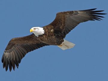 Mysterious deaths of bald eagles in Utah (UPDATE: West Nile virus) | Science and Nature | Scoop.it