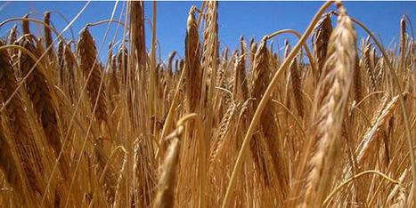 Med Amin: le Maghreb uni contre la spéculation sur les céréales | food security and urban agriculture | Scoop.it