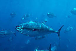 Fisheries commission acts on Pacific Bluefin tuna, ignores the plight of other collapsing stock | Sandy Beach Ecology & Management | Scoop.it