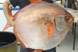 Descubren el primer pez con sangre caliente | Bichos en Clase | Scoop.it