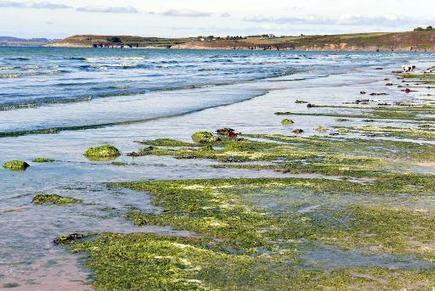 Après avoir pollué ses plages, l'algue pourrait devenir l'or vert de la Bretagne - Magazine GoodPlanet Info | Confidences Canopéennes | Scoop.it