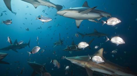 VIDEO. Des centaines de requins migrent dans les eaux de Louisiane | Biodiversité | Scoop.it