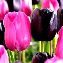 Tulipes (Mélange Pink and Black) 15 Bulbes - Alsagarden, Graines & Plantes Rares | Jardinage | Scoop.it